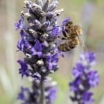 Welcoming Pollinators to Your Garden