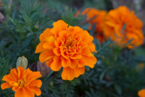 Plant tagetes marigolds to help with pest control.