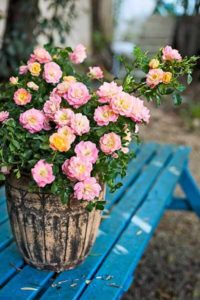 Container Roses