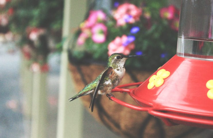Feeding Hummingbirds