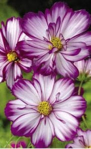 Cosmos are annuals, grown for their showy flowers.